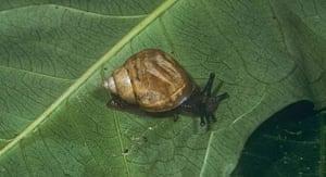 Decade Extinct Species: Pachnodus velutinus