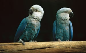 Decade Extinct Species: Spix's macaw