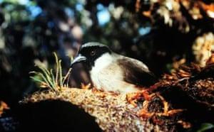 Decade Extinct Species: Poo-uli, Black-faced Honeycreeper, Po'o-uli