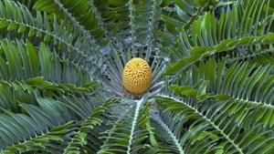 Decade Extinct Species: Wood's Cycad Encephalartos woodii