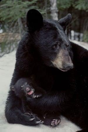 Lynn Rogers: Black Bears Of The Northwoods