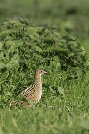 the decade in birds: Corncrake, Crex crex