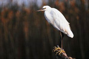 the decade in birds: Little Egret