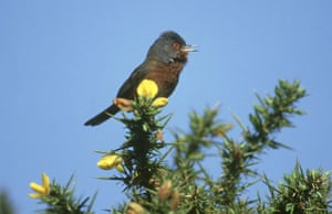the decade in birds: dartford warbler, sylvia undata