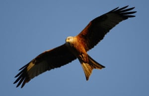 the decade in birds: A red kite flys over the Chiltern Hills