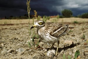 the decade in birds: Stone Curlew (Burhinus oedicnemus)