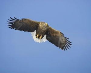 the decade in birds: White-tailed Eagle (Haliaeetus albicilla)