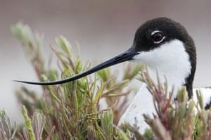 the decade in birds: Avocet Recurvirostra avosetta