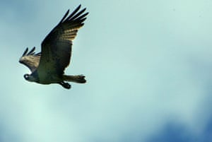 the decade in birds: Osprey