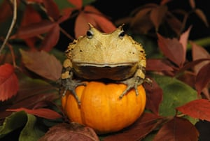 Pumpkin carving: Pumpkin with toad