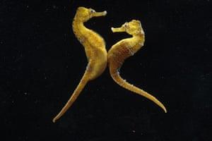 Seahorses: Seahorses mating