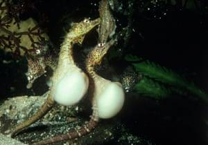 Seahorses: pregnant seahorses