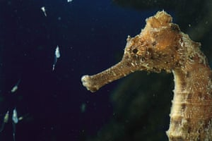 Seahorses: seahorse feeding