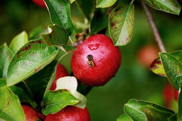 Image result for wasp on apple Pinterest