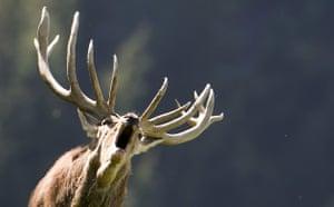 Week in Wildlife: A rutting stag bellows in a wildlife park in Aurach