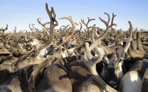 Week in Wildlife: TO MATCH FEATURE RUSSIA-YAMAL/NENETS