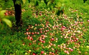Week in Wildlife: the apple harvest in Somerset