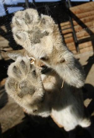 Week in Wildlife: A three-month-old lynx cub, Krasnoyarsk, Russia