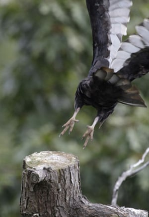 Week in Wildlife: A Turkey Vulture launches from a tree at Hawk Mountain Sanctuary