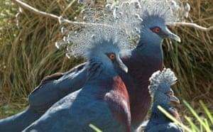 Week in Wildlife: Victoria crowned pigeon  at ZSL London Zoo