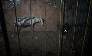 Week in Wildlife: a donkey painted to resemble a zebra, Marah Land Zoo in eastern Gaza City