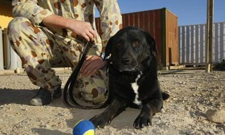 Australian sniffer dog Sabi