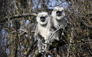 week in Wildlife: Himalayan langurs rest on a tree in Dachigam, Srinagar