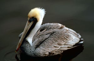 week in Wildlife: brown pelican and DDT,  the Everglades National Park in Florida