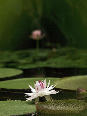 week in Wildlife: VICTORIA AMAZONICA, THE LARGEST OF WATER LILIES, BLOOMS IN BOGOTA