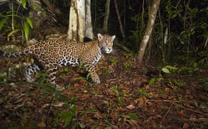 Yucatan RAVE by iCLP : A jaguar (Panthera onca), Mexico