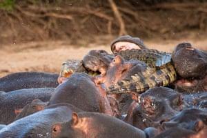 Hippos attack croc: Hippopotamus attacks Crocodile on the river Nile