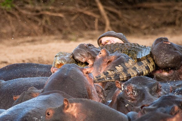 Hippopotamuses attack a crocodile | Environment | The Guardian
