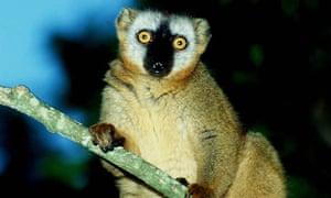 Brown lemur, Madagascar