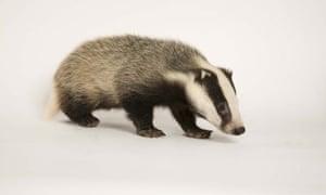 Does this badger remind you of Jesus?