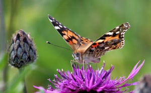 Week in Wildlife: Painted Lady butterfly migration