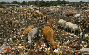 Week in Wildlife: Cattle search for food in a garbage dump in Makassar, Indonesia