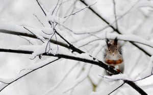 Week in Wildlife: A squirrel sits on a snowy tree branch in a Moscow , Russia