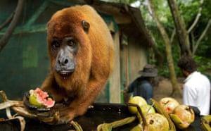 Week in Wildlife: a howler monkey at Ambue Ari jungle, Santa Cruz region of Bolivia