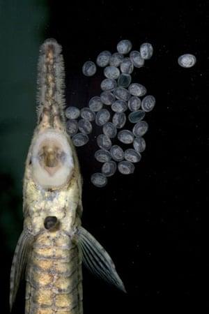Week in Wildlife: twig catfish (Farlowella vittata) hatchlings