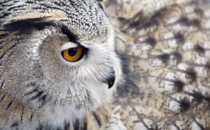 Week in Wildlife: An eagle-owl, which rose in captivity, in Moscow, Russia