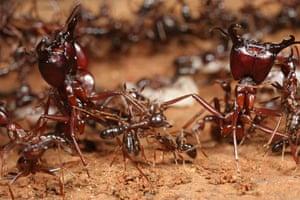 Week in Wildlife: Dorylus molestus ants soldiers