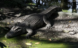 Week in Wildlife: Siamese crocodile at Phnom Tamao Wildlife Rescue Center Takoe province