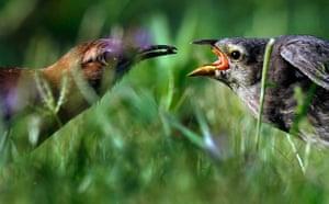 Week in Wildlife: A  female Great Antshrike feeds her chick at estuaries of Ibera, Argentina