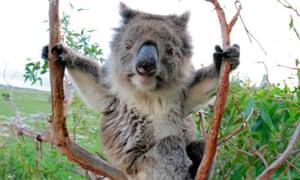 A koala in a gum tree.