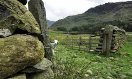 Herdwick sheep in the Lake District, Cumbria.