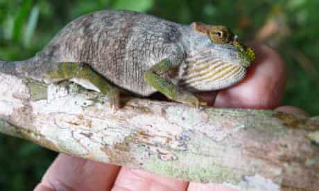 New species of chameleon discovered