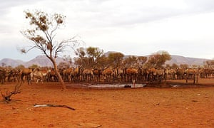 Wild camels converge on a bore hole in Northern Territory, Australia