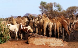 Camels in Australia: Feral camels as they converge near a bore hole