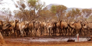 Camels in Australia: A herd of 6,000 camels is terrorizing the remote Docker River