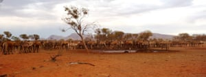 Camels in Australia: Feral camels